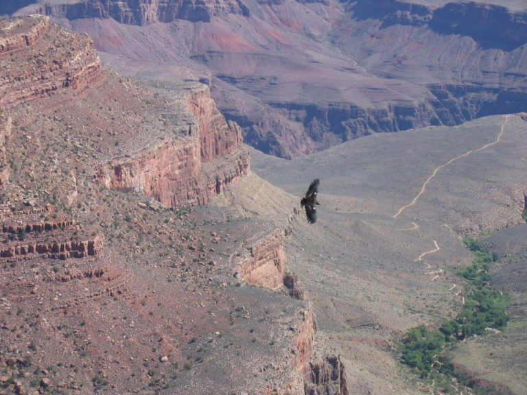 a large bird flying over the Bright Angel Trail as viewed from the South Rim